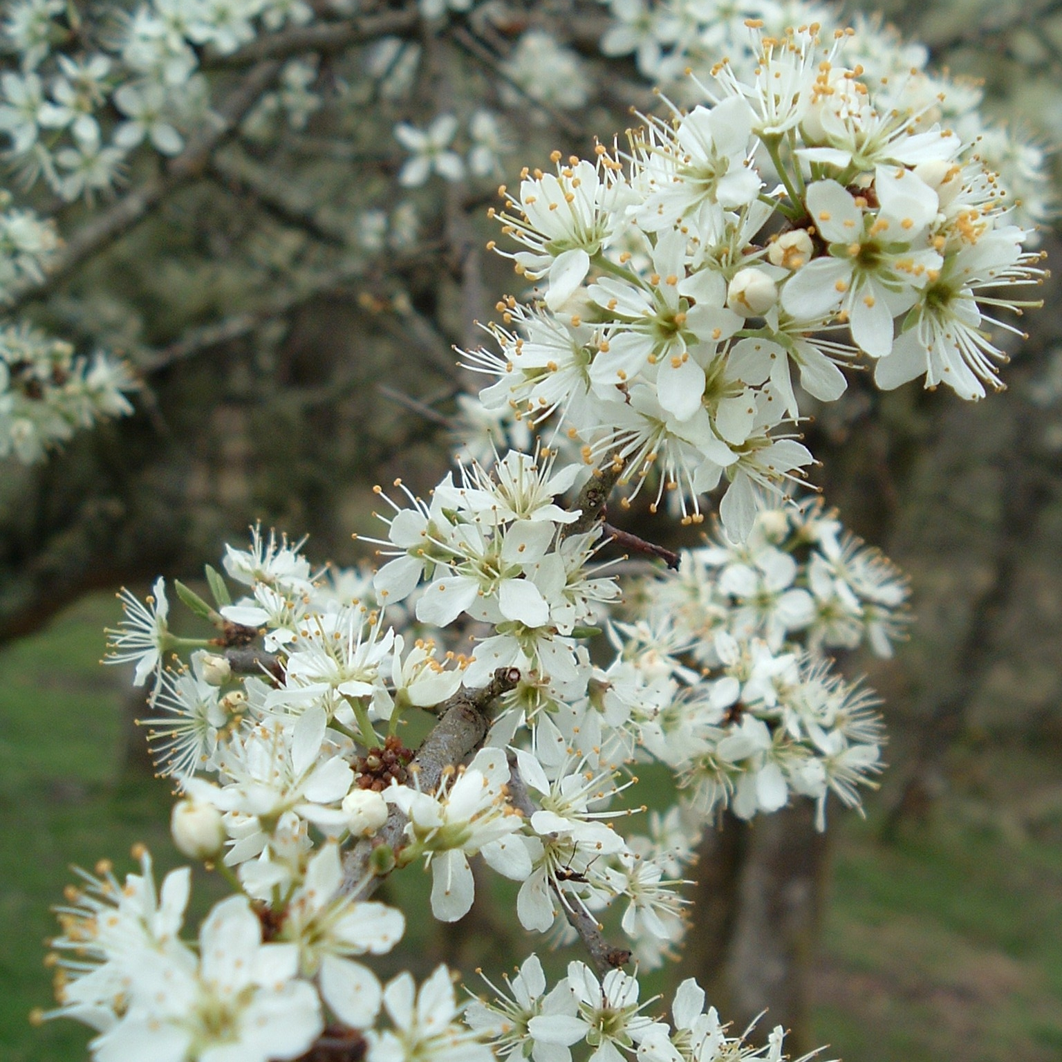 Sloe or Blackthorn - Sloe, or Blackthorn, is a small attractive thorny shrub, good for hedging with Hawthorn. Purple Sloes used for Sloe Gin.
