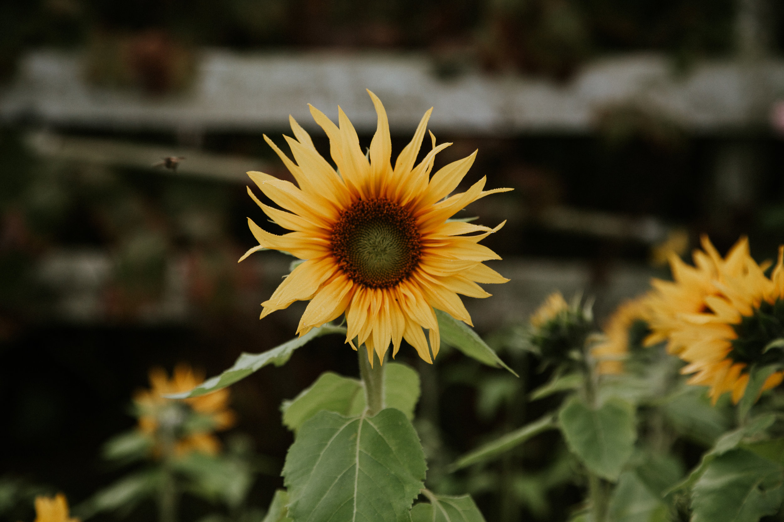 Discover the Fraser Valley Sunflower Trail. -