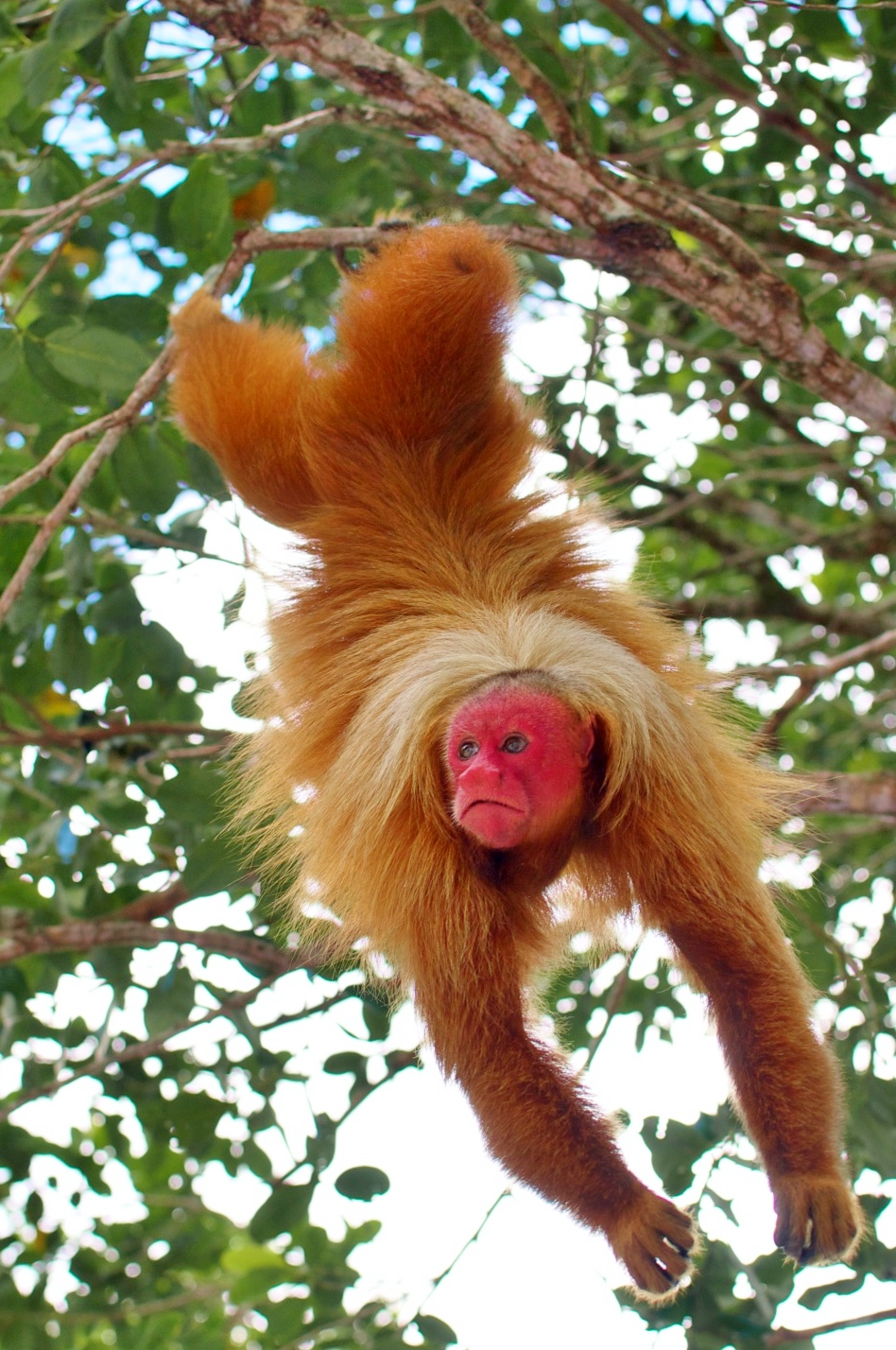 The Red Uakari Monkey, Photo Credit CEDIA, the most amazing monkey I have ever seen!