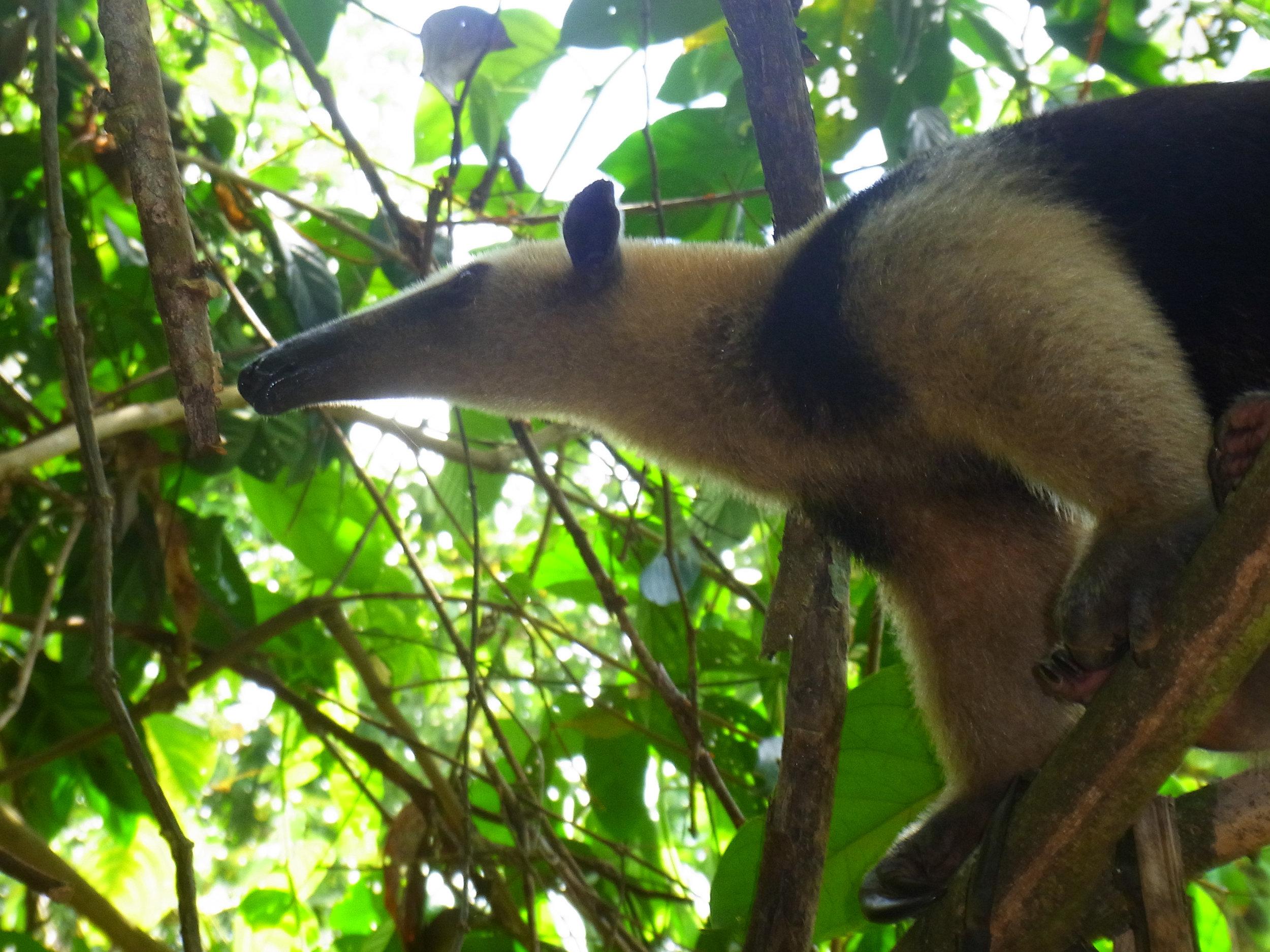 The Tamandua, Photo Credit; Rainforest Trust