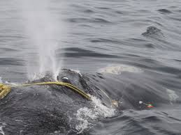 A right whale entangled in fishing rope.