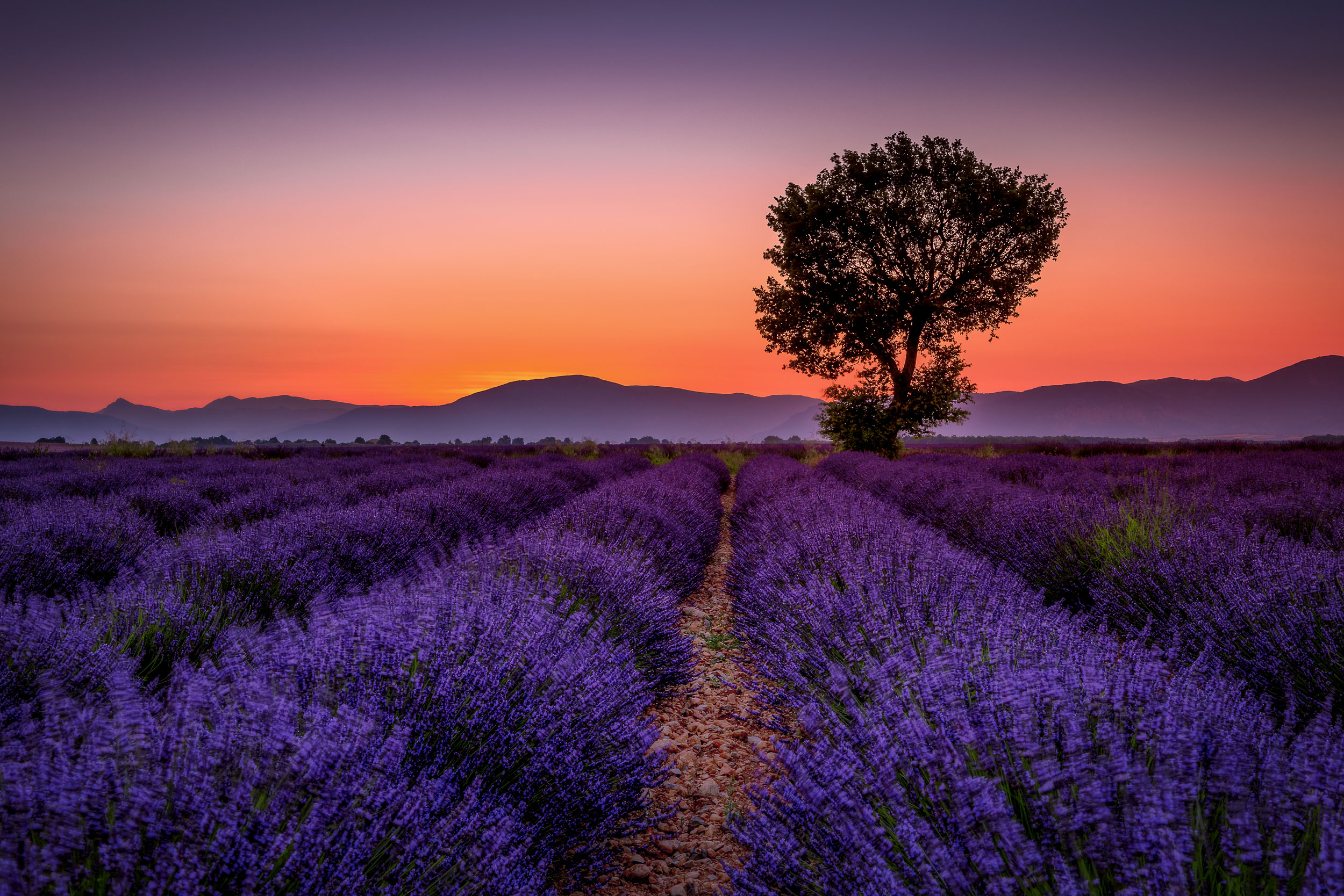 The Lavender Fields of Provence