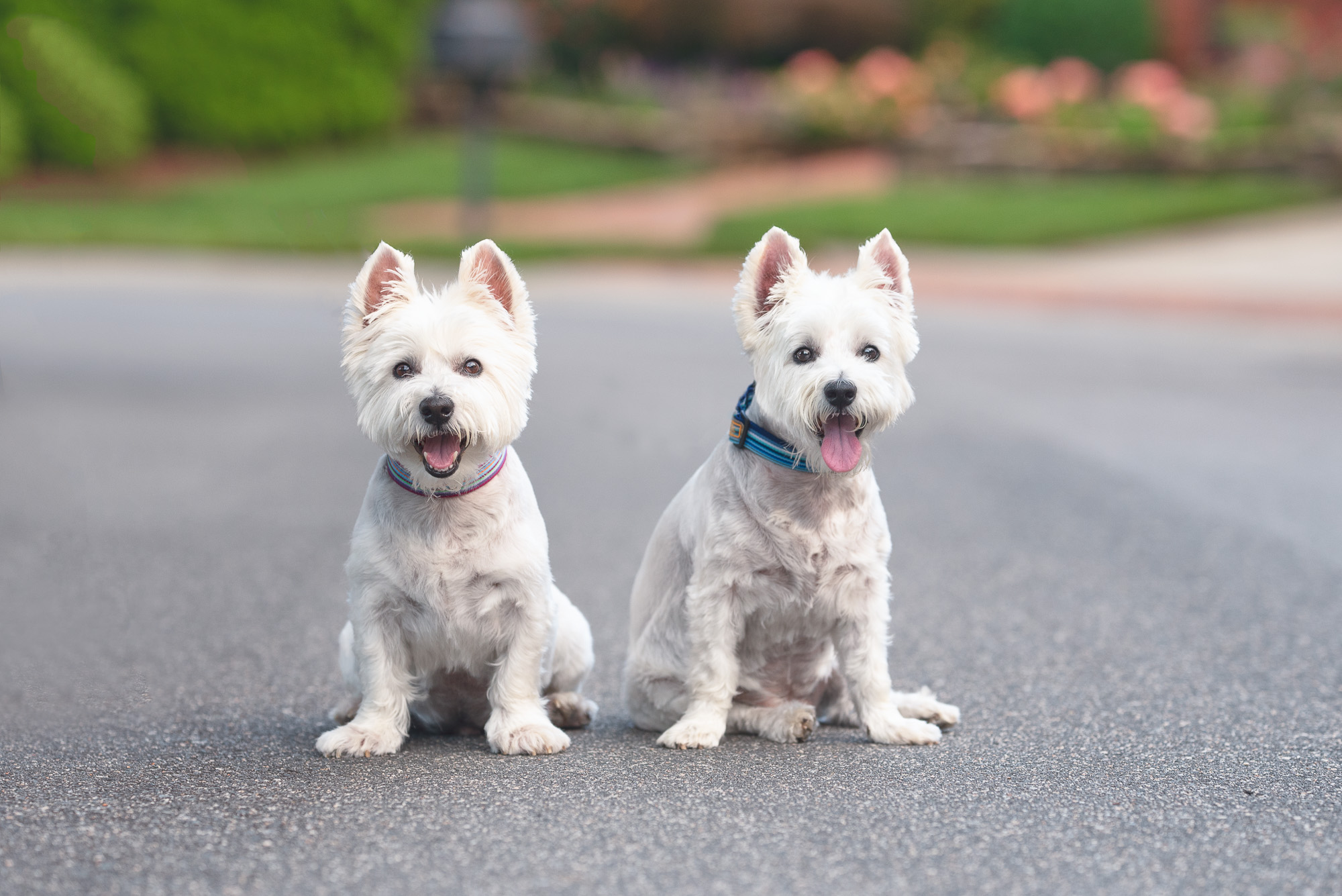 dog walking clients Brady and Ferguson.JPG