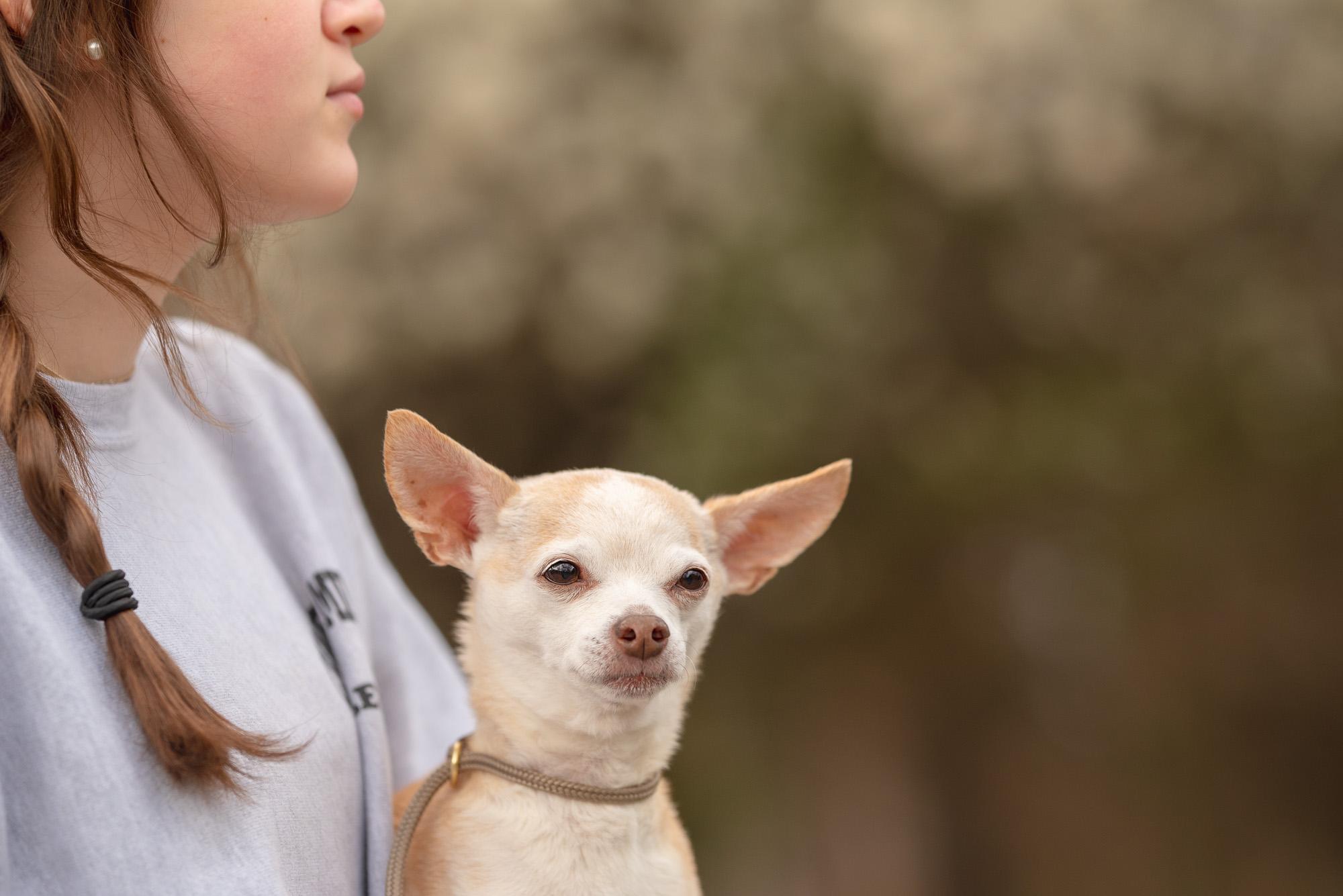 chihuahua pet sitter