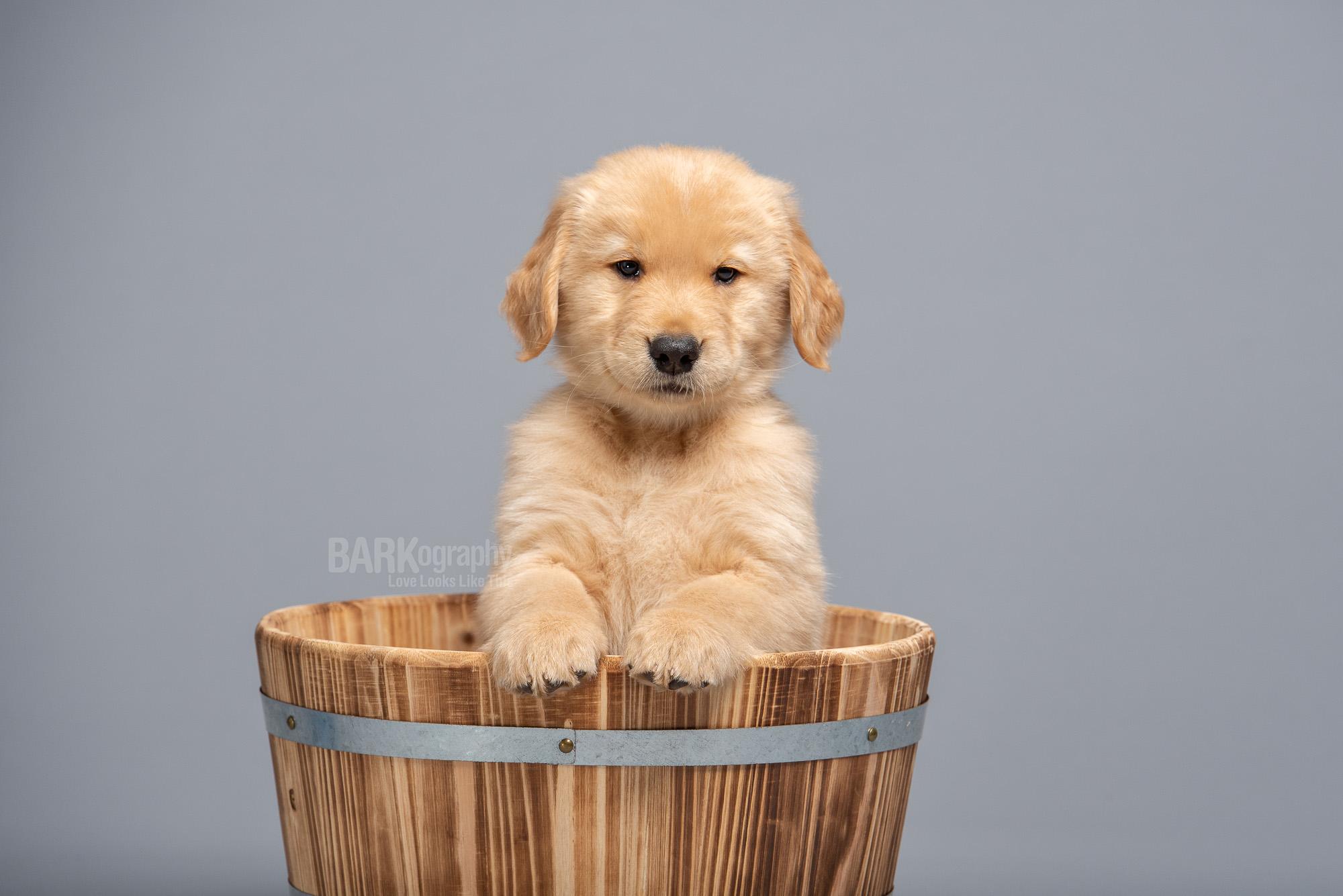 Golden retriever puppy photo Charlotte NC