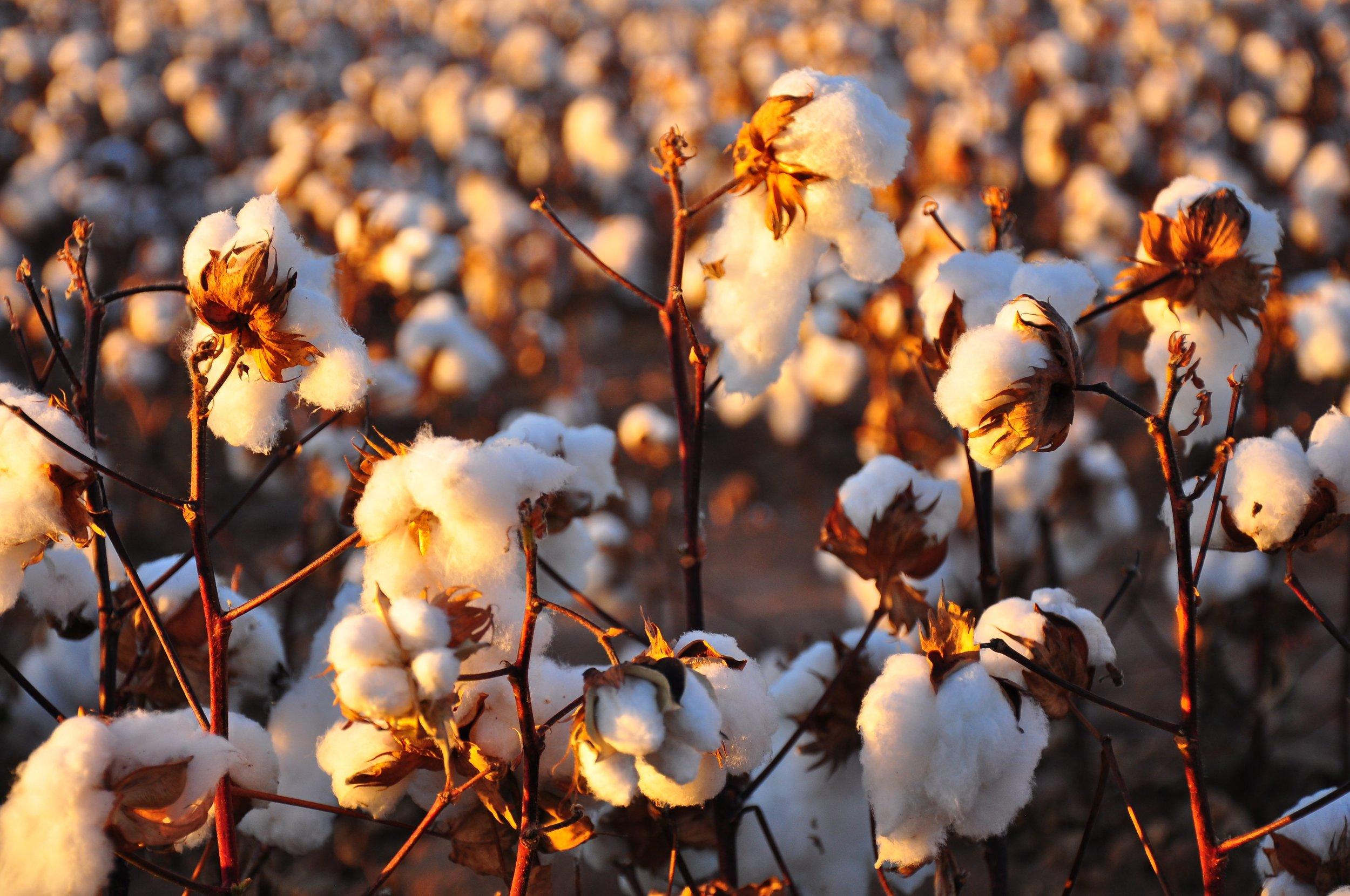 Cotton-Harvest_-Kimberly-Vardeman_Flikr.jpg