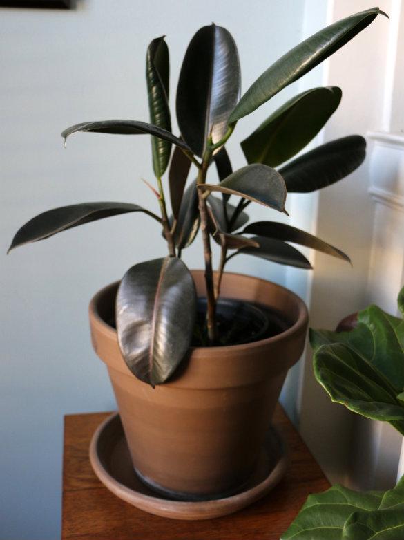 Indoor Rubber Plant.jpg