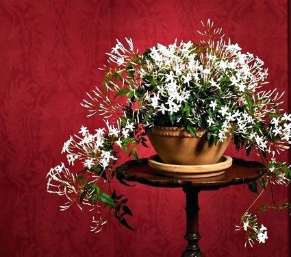 white-jasmine-indoor-plant-jasmine-in-stoneware-hanging-cachepot-white-flower-farm-white-jasmine-house-plant.jpg