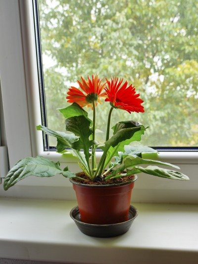 gerbera-daisy-houseplant-400x533.jpg
