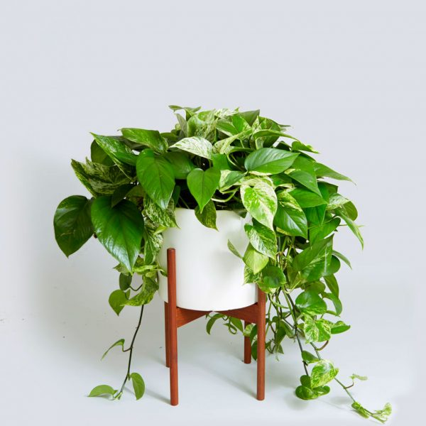 indoor-plant-with-vines-Epipremnum-aureum-600x600.jpg
