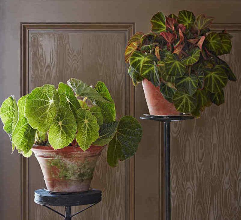 begonia-paulensis-soli-mutata-home-103005786_sq.jpg