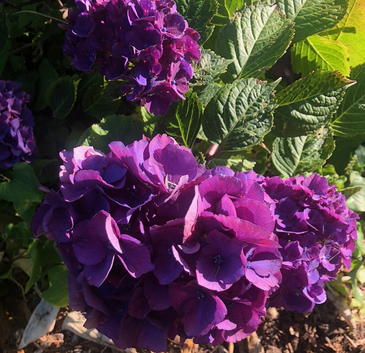 Hydrangeas come in so many colors, like this deep purple. They adorn the landscape all around western Oregon.
