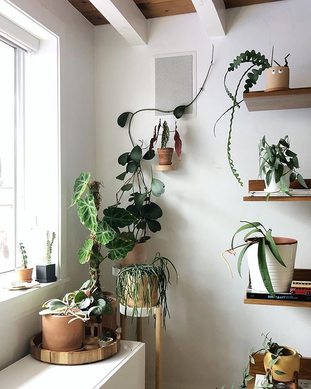 I did some thinning out and rearranging of this corner before we left for Ireland. (For evolution see 👉🏼#whphfrncorner.) The hanging shelves went out to the patio. As I look at this photo I'm realizing I may have to do more rearranging when I get home since the Philo is starting to block the light for the Hoya. What do y'all think? 🤔 #plantparentproblems (Side note: as I write this our jet lagged kids have finally slept in 👏)