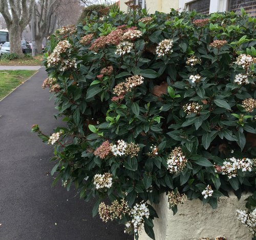 Viburnum tinus - This plant should be listed in the plant hall of fame.It's been a popular and ever performing garden plant for decades. It is almost Indestructible.Tolerant of anything that South Australian climates can throw at it Viburnum tinus, laughs at frost, drought & wind.A true hedging classic, or stand alone small tree, or a relaxed shrub to hang out where no other plant dares.                      Always on song - quick growing - super hardy, We all love Viburnum tinusGrows up to 3 metres