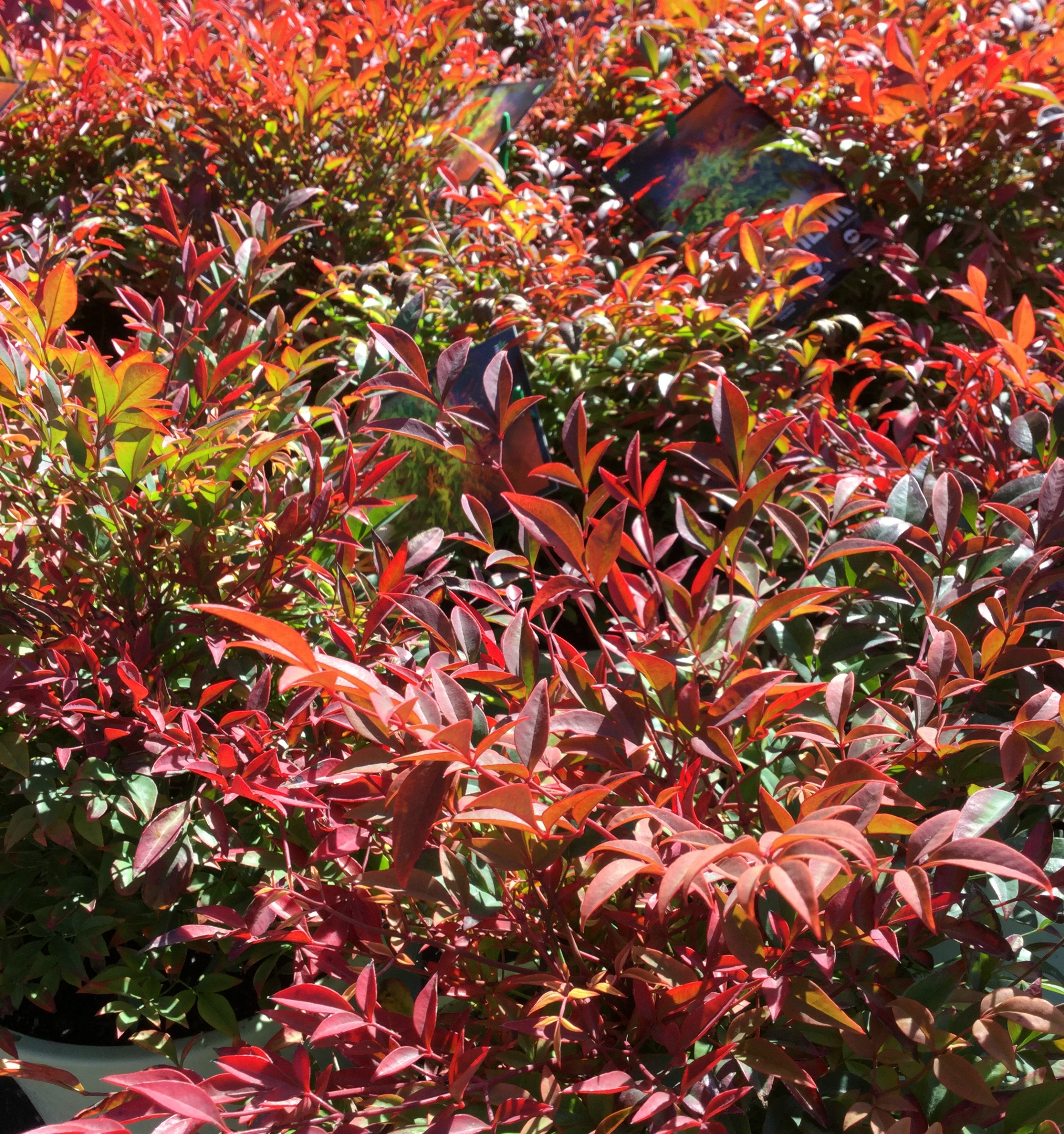 "NandinaMagical Day Break - Nandina's have been a super popular and super useful garden plants for ""ever"". This is a fabulous new form that has been recently developed, all the badly behaved bits have been extracted and only the best features remain.Tight and compact this Nandina grows into a perfect 50cm x 50cm shape, soft and ferny foliage with glorious colours and tones of russet reds and vivid limey greens, it is never without interest.So happy and compliant this is a wonder plant, suited to all gardens, plant in groups pots or use to make beautiful borders."