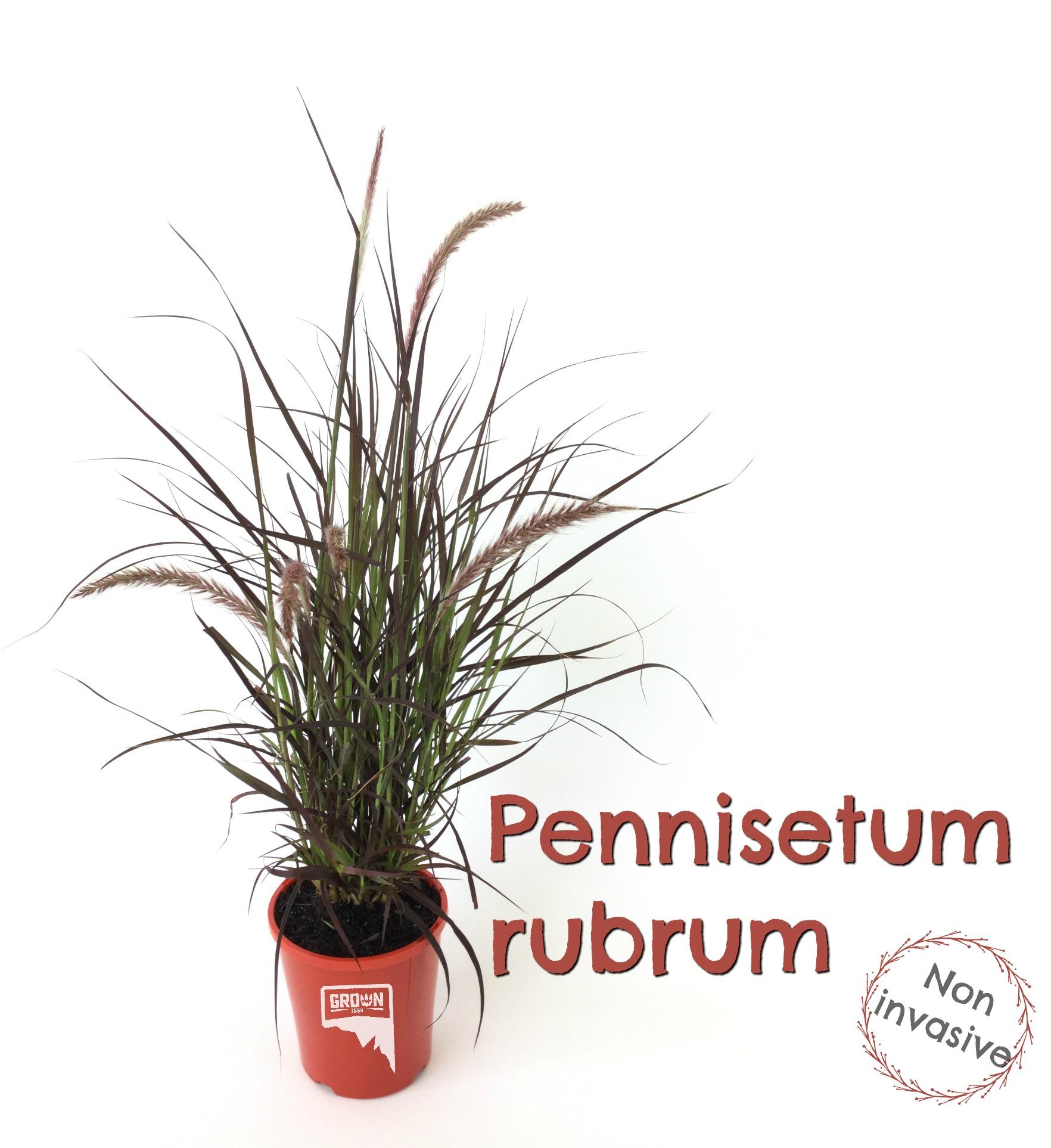 Pennisetum txt.jpg