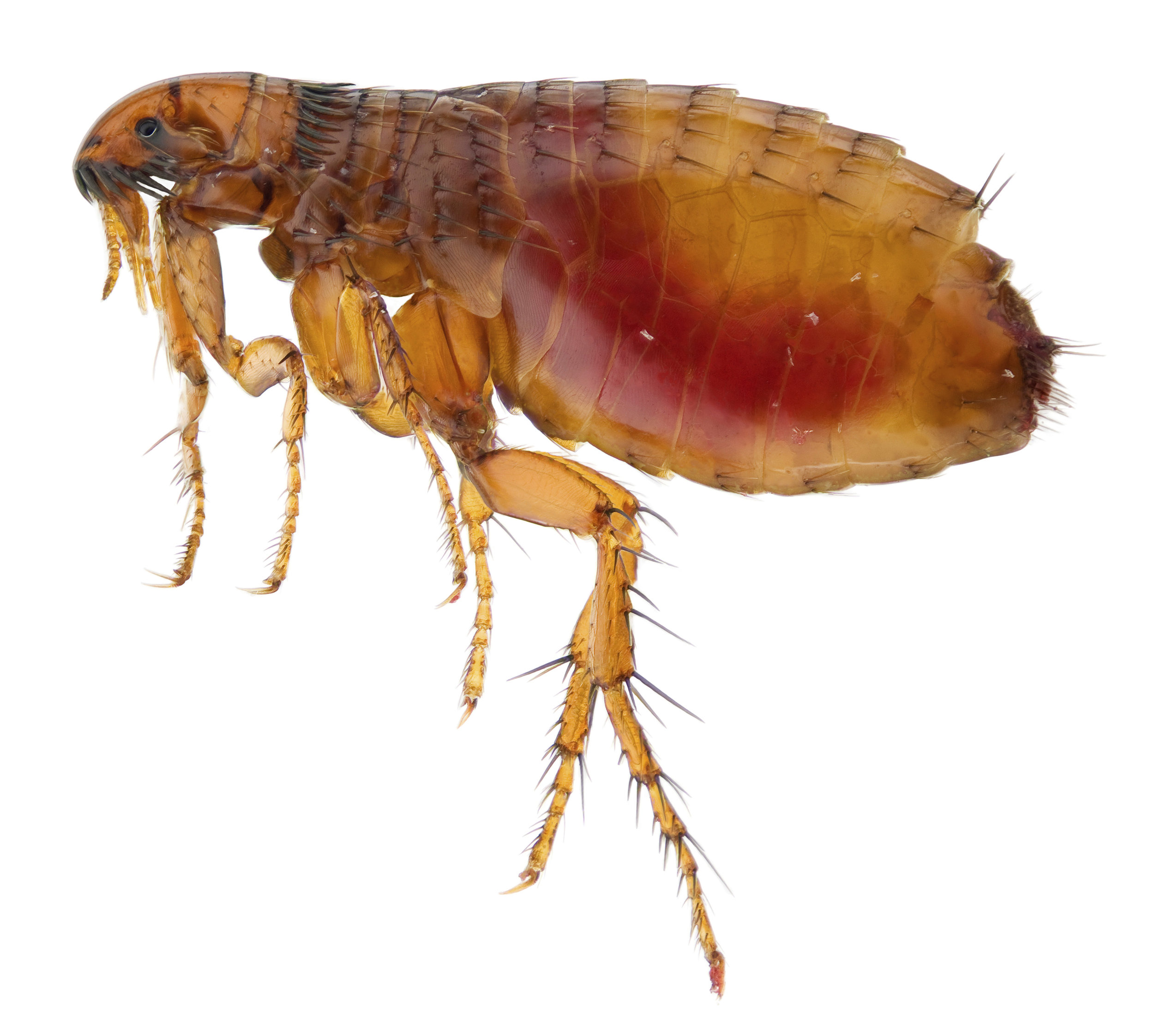 "Fleas - Size: about 1/16"" to 1/8"""