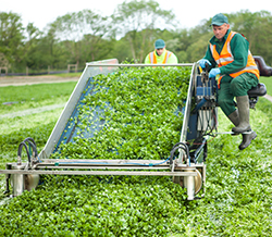 Harvesting daily throughout the season
