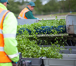 Harvesters remove any insects on shaker conveyors