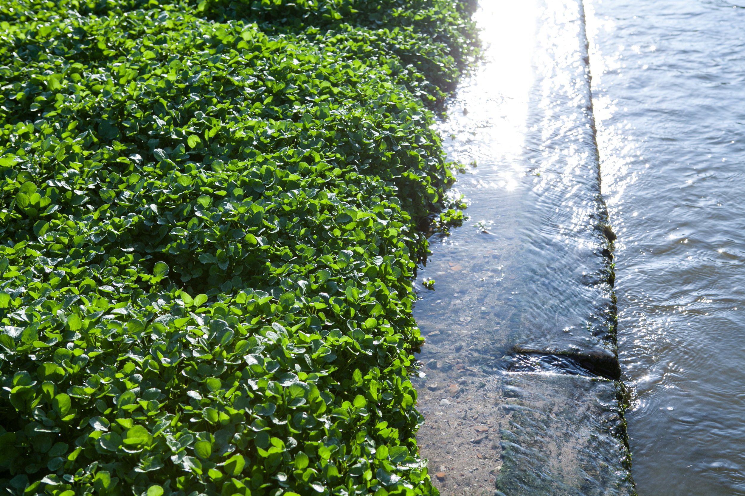 Dorset Watercress Bed with Flowing Spring Water.jpg