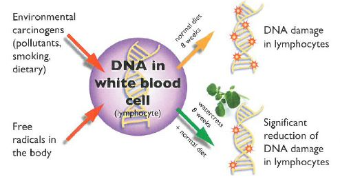 DNA in white cells.JPG