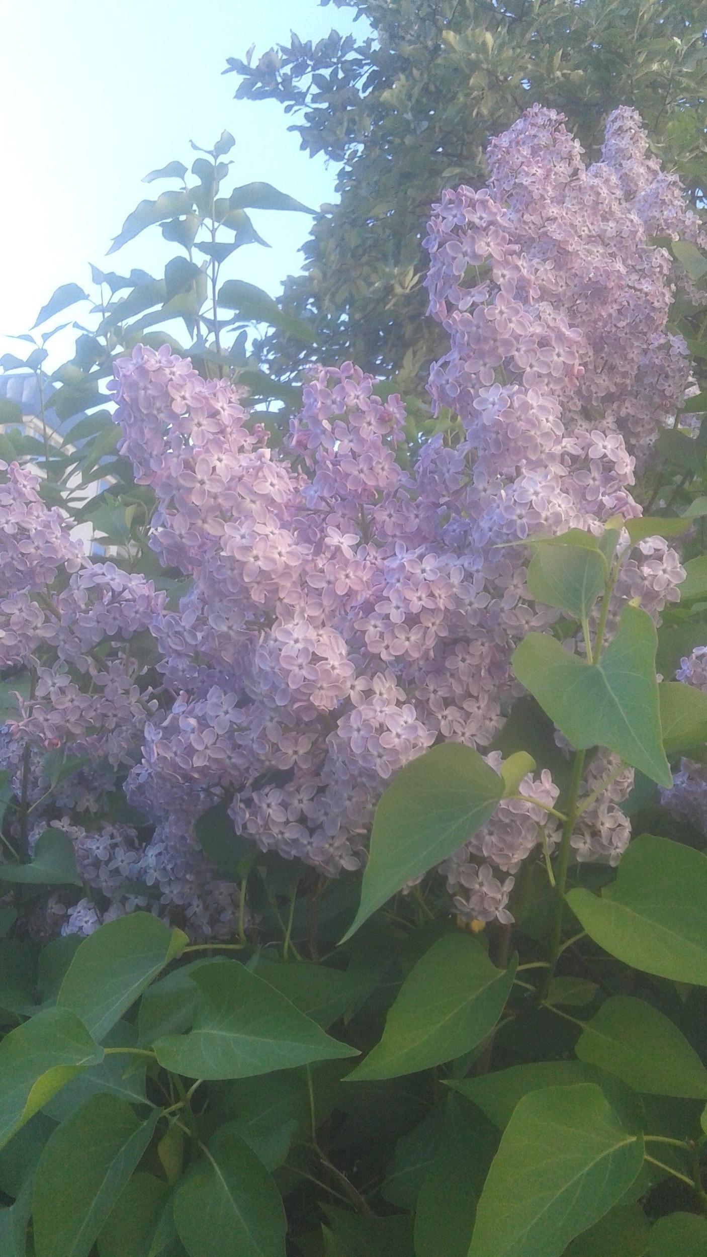 Syrenbuske+lila.jpg