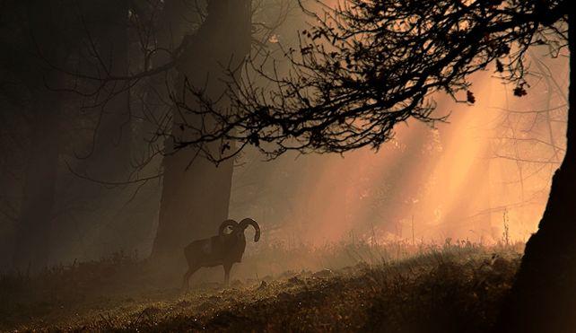 mouflon_3.jpg