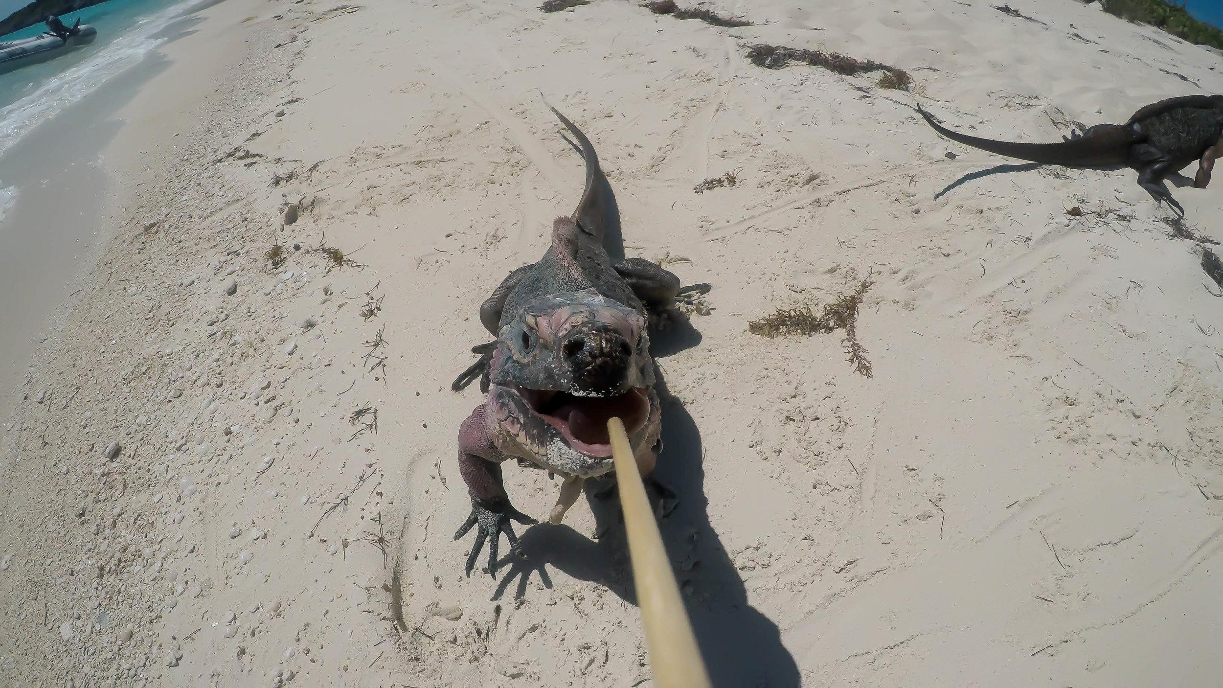 iguana grape 2.jpg