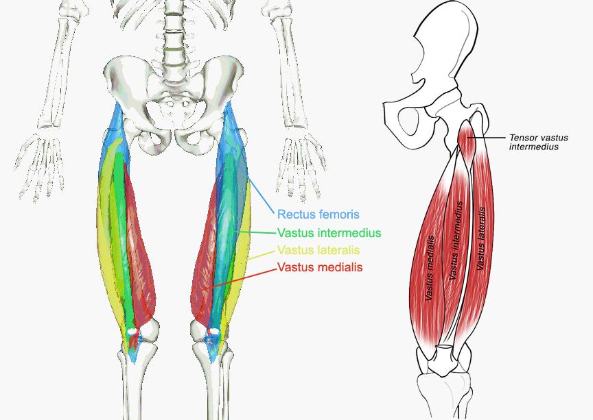 Quadriceps-.png