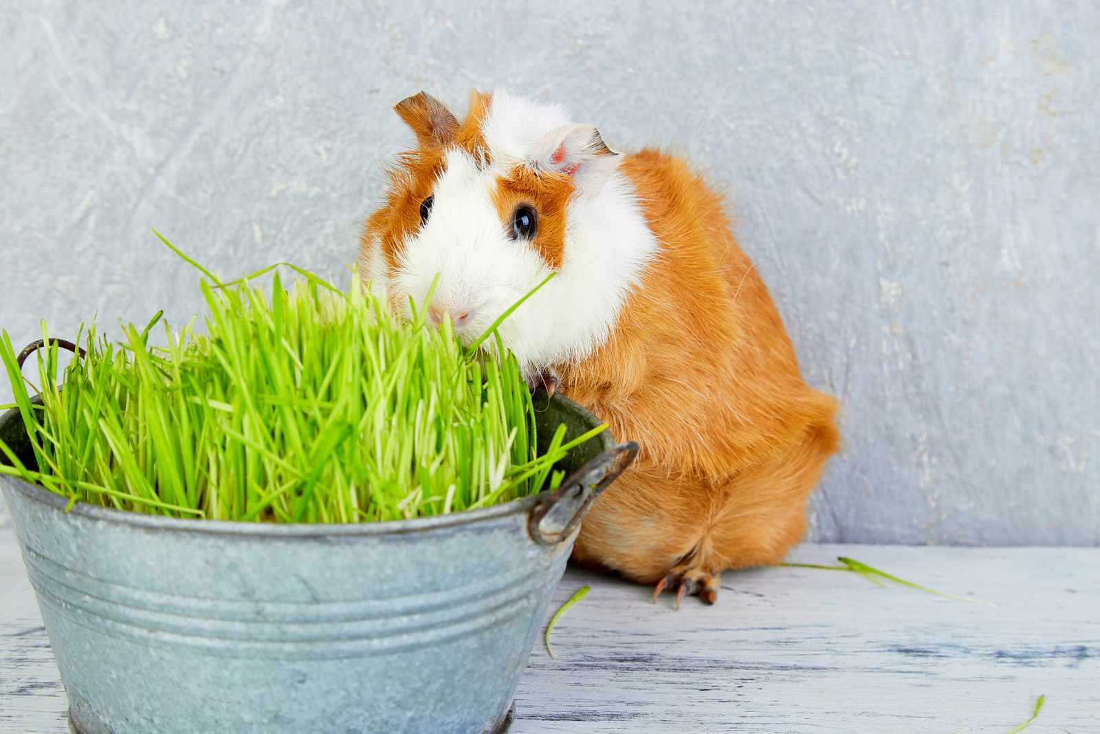Guinea Pigs, wait no Rodents