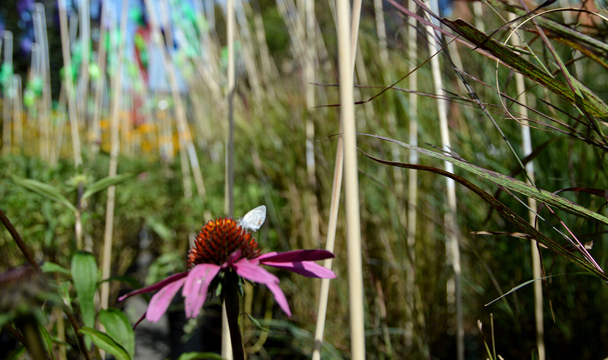 16-Parking Day 2019-pollinator and purple coneflower.JPG