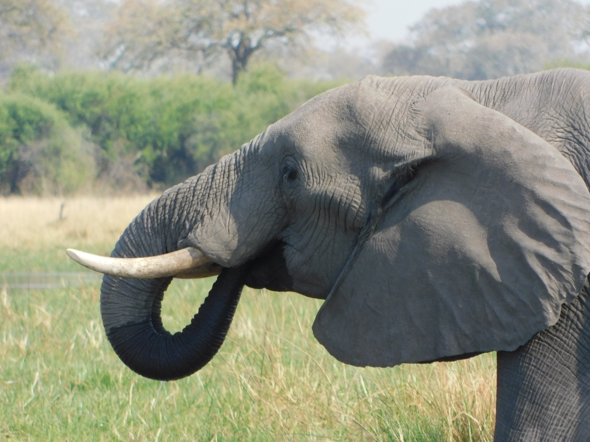 An elephant we found cooling off at a watering hole.