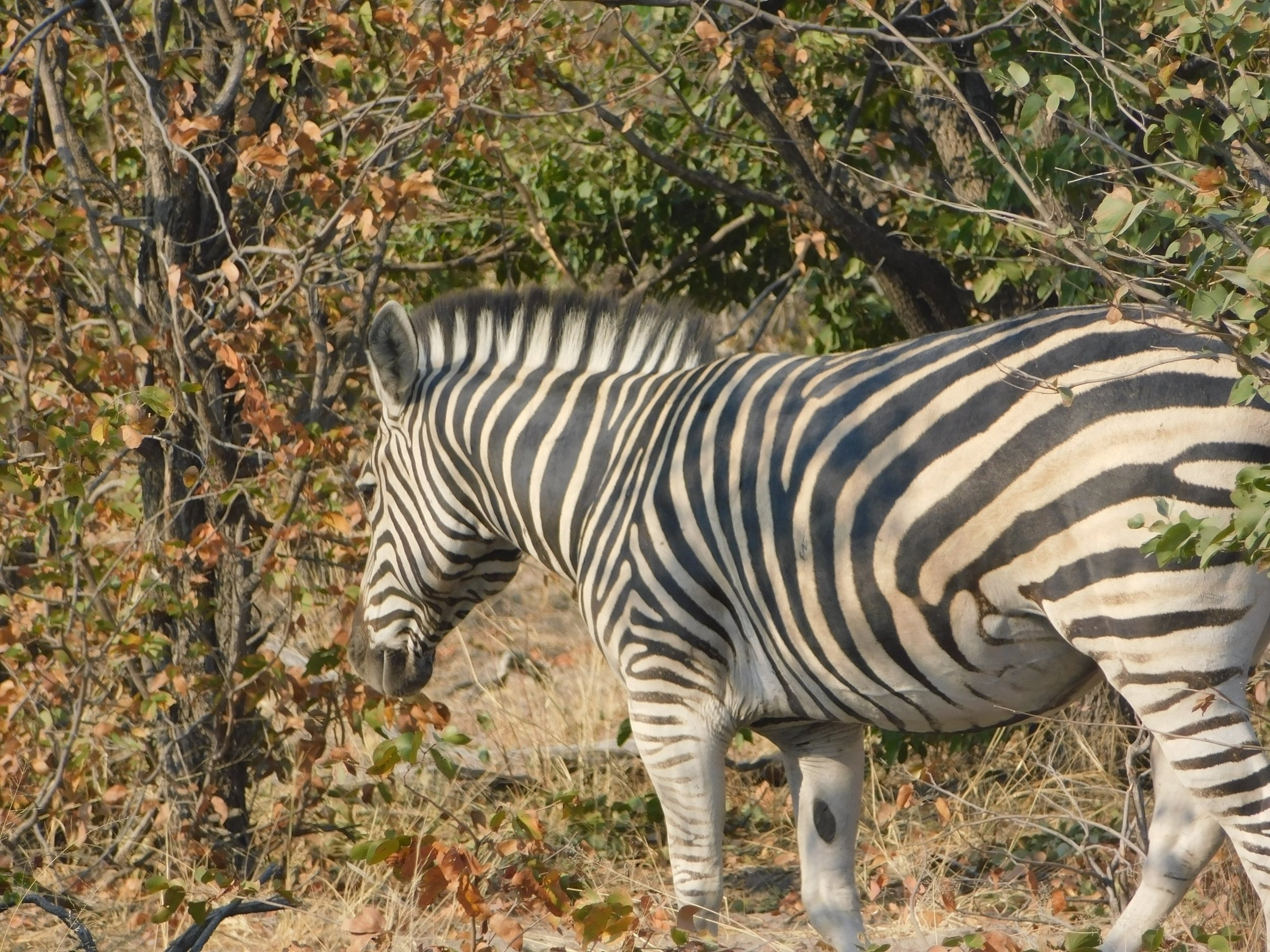 The national animal of Botswana- showing a unification between black and white people.
