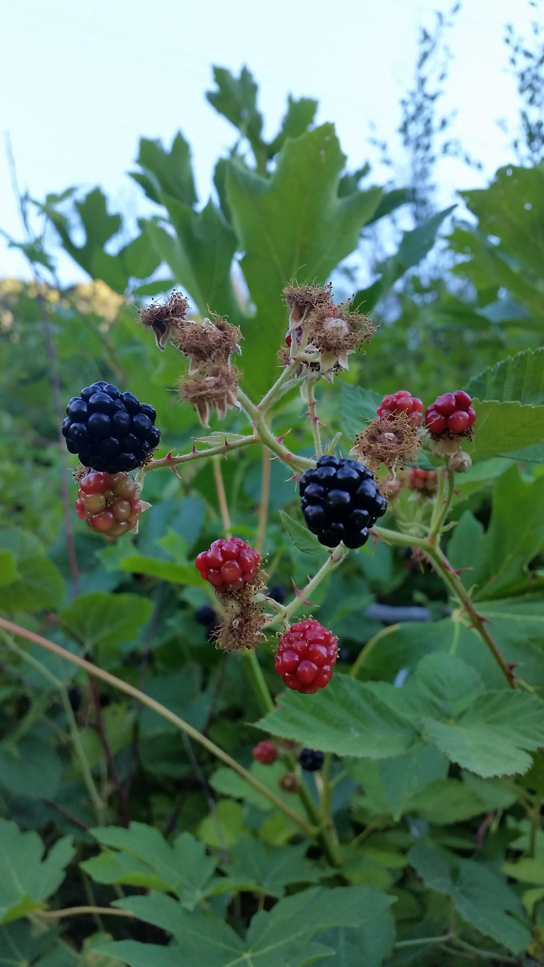 Berries were everywhere on trail!