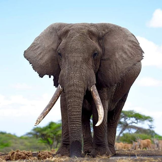 Elephants.  Kenya.  The majestic giant known as Spirit.  I miss this big guy but think of him often. Kenya has so many beautiful places to be with elephants,  and fortunately a decent set of laws protecting them.  #larrylaverty #africanelephant #elephants
