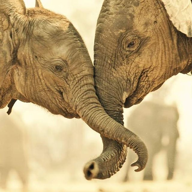 Elephants.  Zimbabwe.  If humans knew love and caring as elephants do,  the world would be a far better place for all.