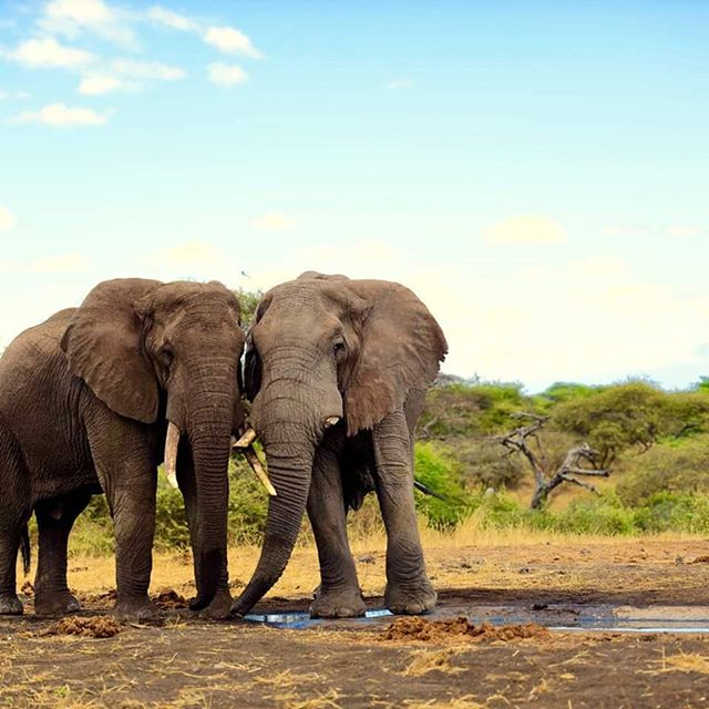 Elephants.  Kenya.  Two fellows in gratitude.  Be it known that elephants and many other beings who live in the wild go through life experiencing most of the same emotions and thought processes that humans do.  Too many humans, sadly,  go through life unaware of all we share with these beings.