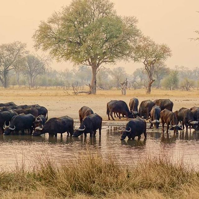Buffalo.  Zimbabwe.  The daily pilgrimage to the local water hole each evening.  Often,  so many came,  I had to wait for the dust to settle before it was possible to determine if they numbered a couple of dozen for the day or a couple hundred.