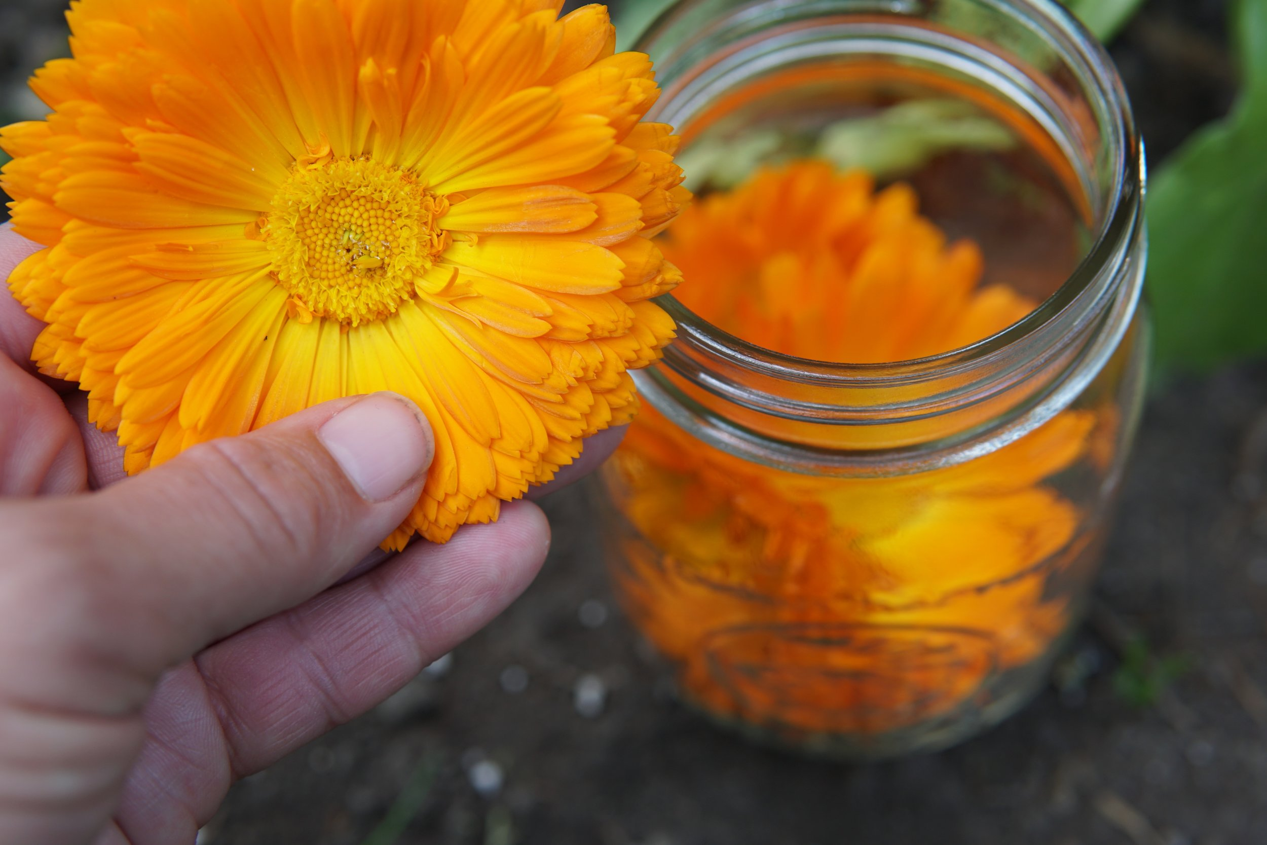 Sunny, sticky Calendula flowers make a wonderful oil for skin care.
