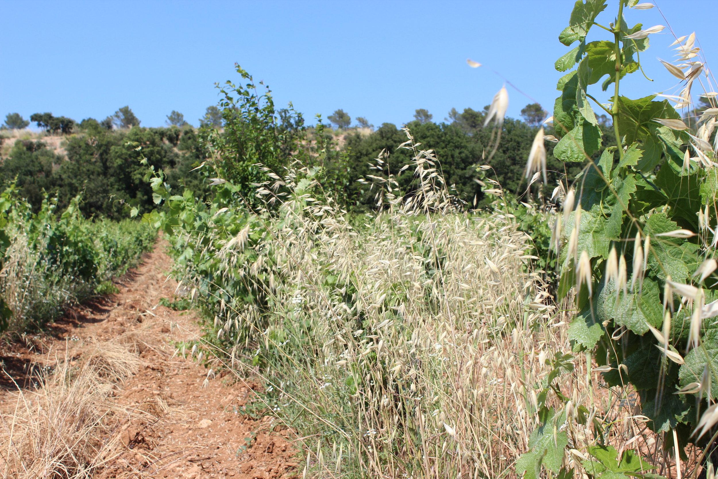 De l'avoine au milieu des vignes