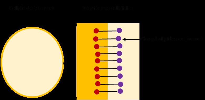 """La cellule de foie gras est intéressante pour sa membrane qui contient des phospholipides. Ils """"emprisonnent"""" tous les lipides qui, jours après jours envahissent les cellules du foie. Mais cette substance est très fragile et perd vite ses propriétés uniques !"""