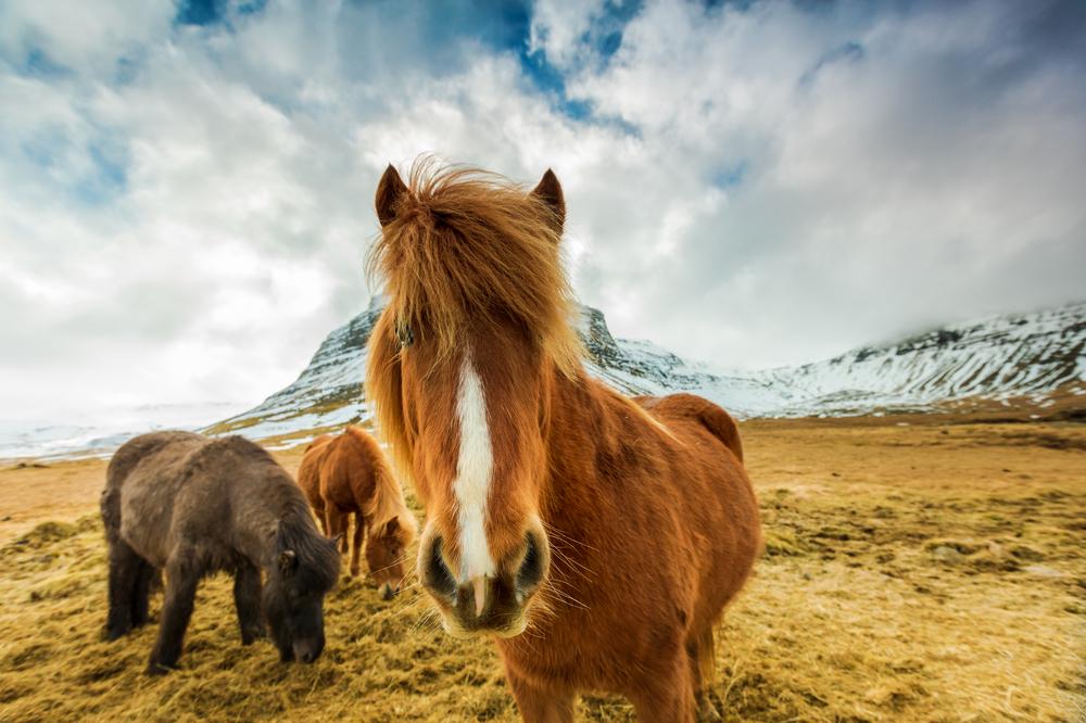 Nysgjerrig Islandshest