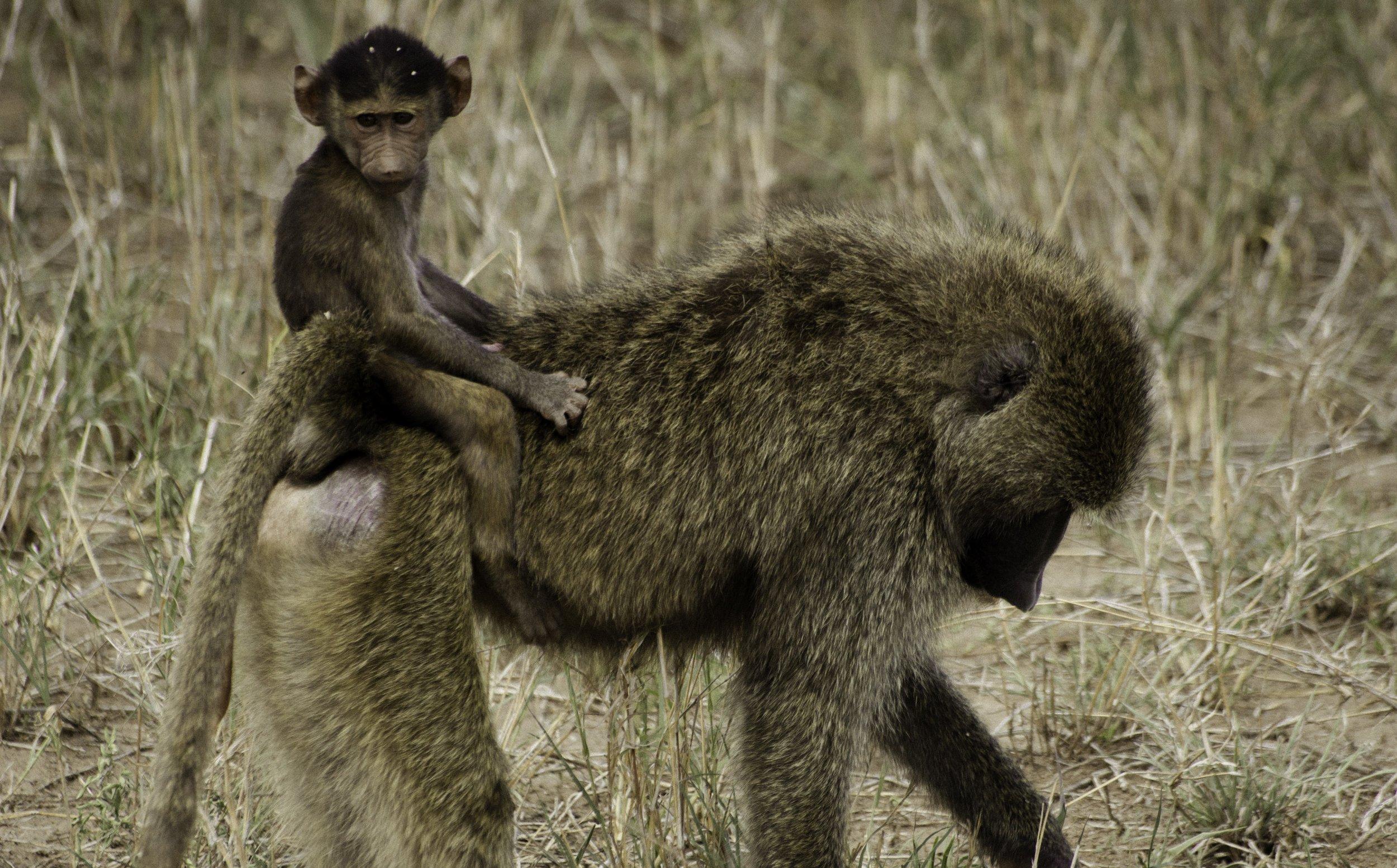 Baboons.jpg