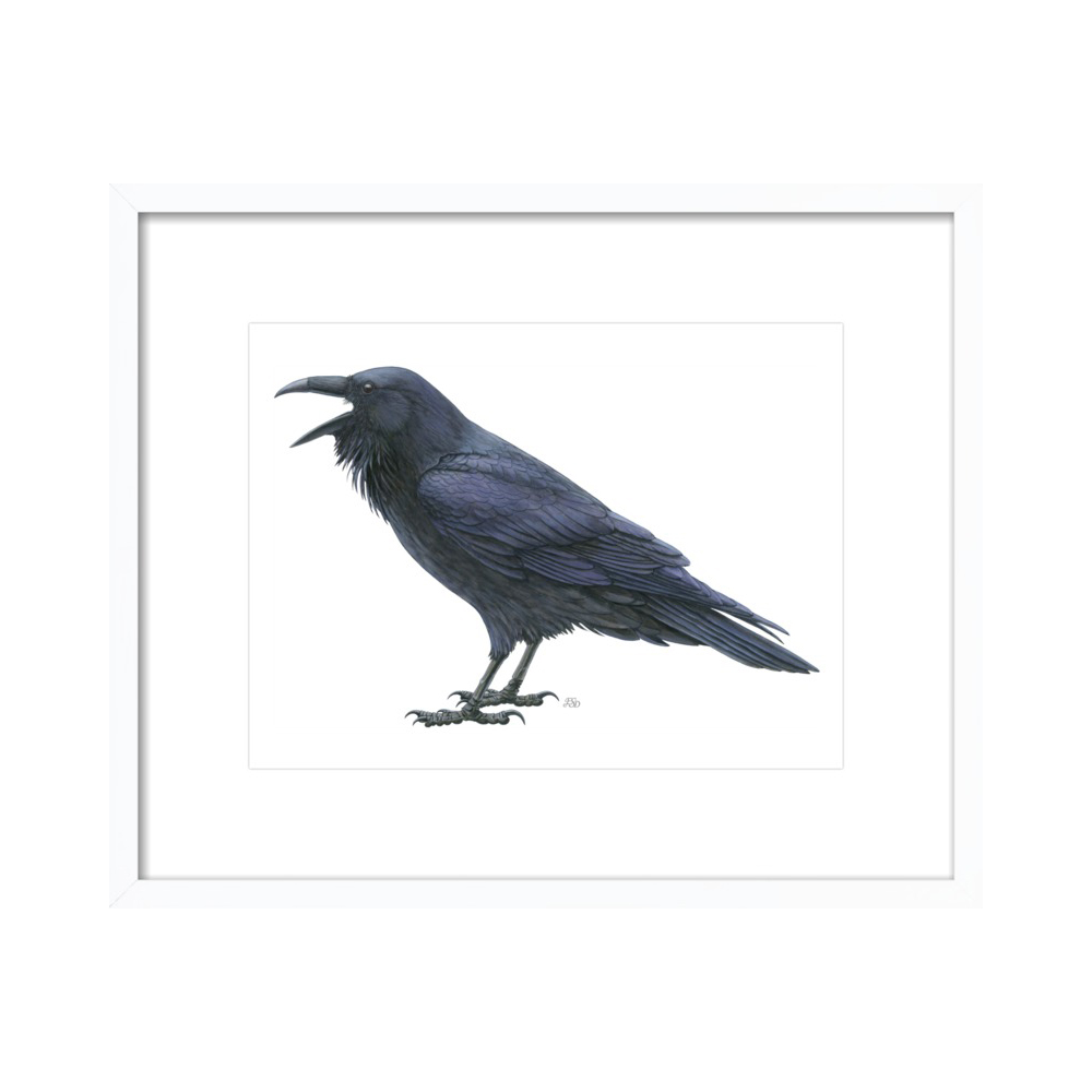 Common raven  BY EMILY S. DAMSTRA from $24