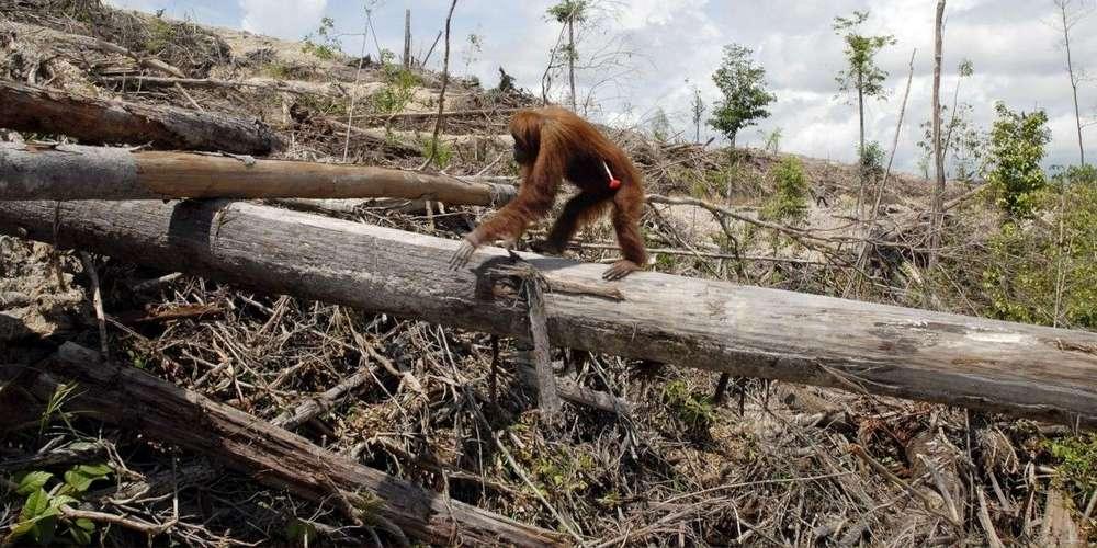 les-forets-indonesiennes-constituent-l-un-des-derniers-refuges-pour-de-nombreuses-especes-vegetales-et-animales-dont-les-orang-outans.jpg
