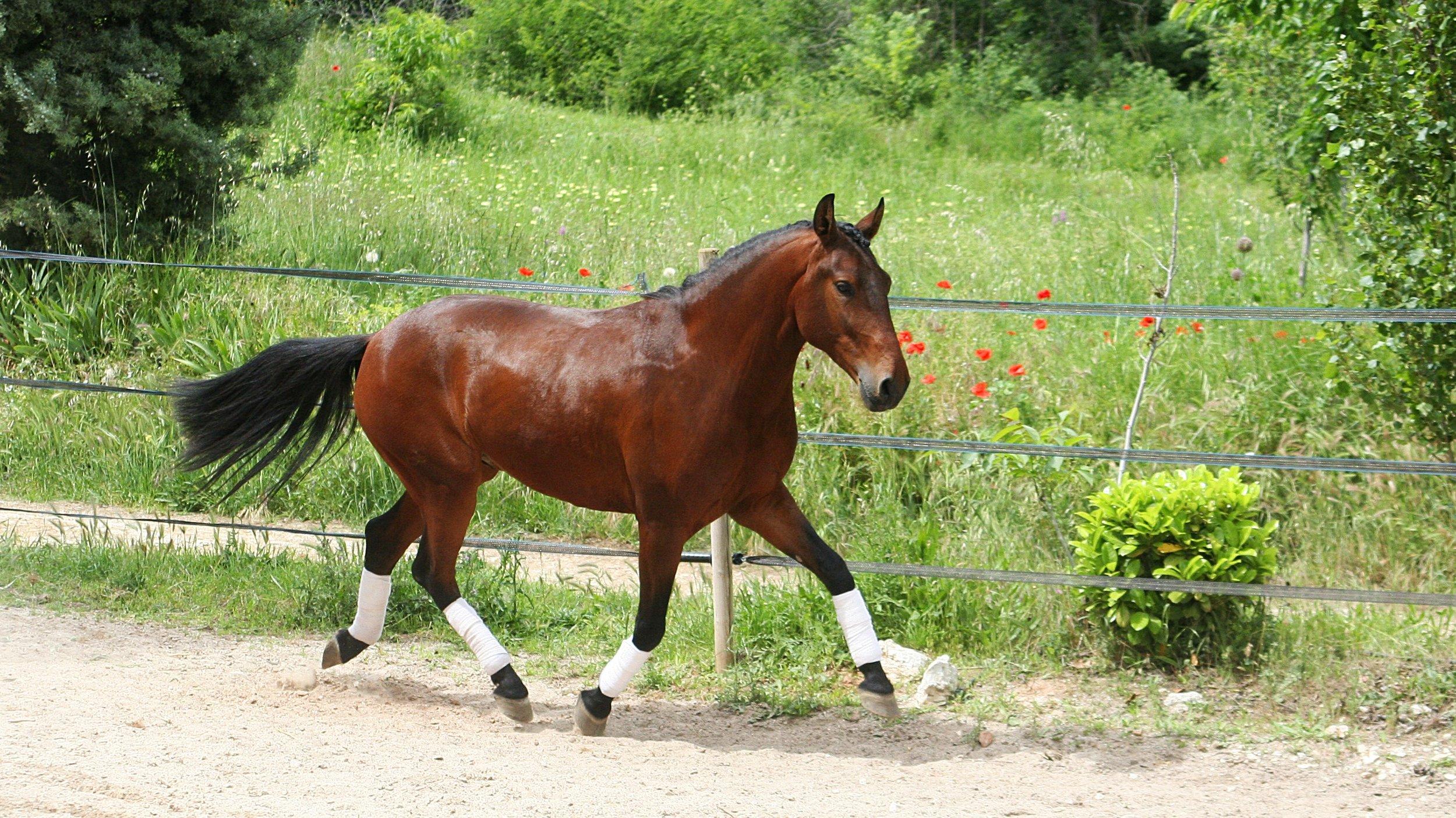 Jupiter Da Cruz - Lusitanien Pure Race PP.BAI.157 cm. 5 ans.Très bonnes origines.Provient de l'élevage, Luis Filipe Pereira Cruz.Du coté de son père, on retrouve la lignée MASSA, avec V-Ohara font et Galopin de la font.Un jeune cheval prometteur.Jupiter Da Cruz, est un très bon cheval extérieur avec une forte prédisposition pour le dressage classique ou de l'équitation de travail.Un jeune cheval très affectueux et proche de l'homme.Facile à vivre.Il possède une grande qualité d'énergie.Un cheval en avant, avec de beaux mouvements dans ses allures.Un cheval sensible à l'assiette.A venir voir absolument.