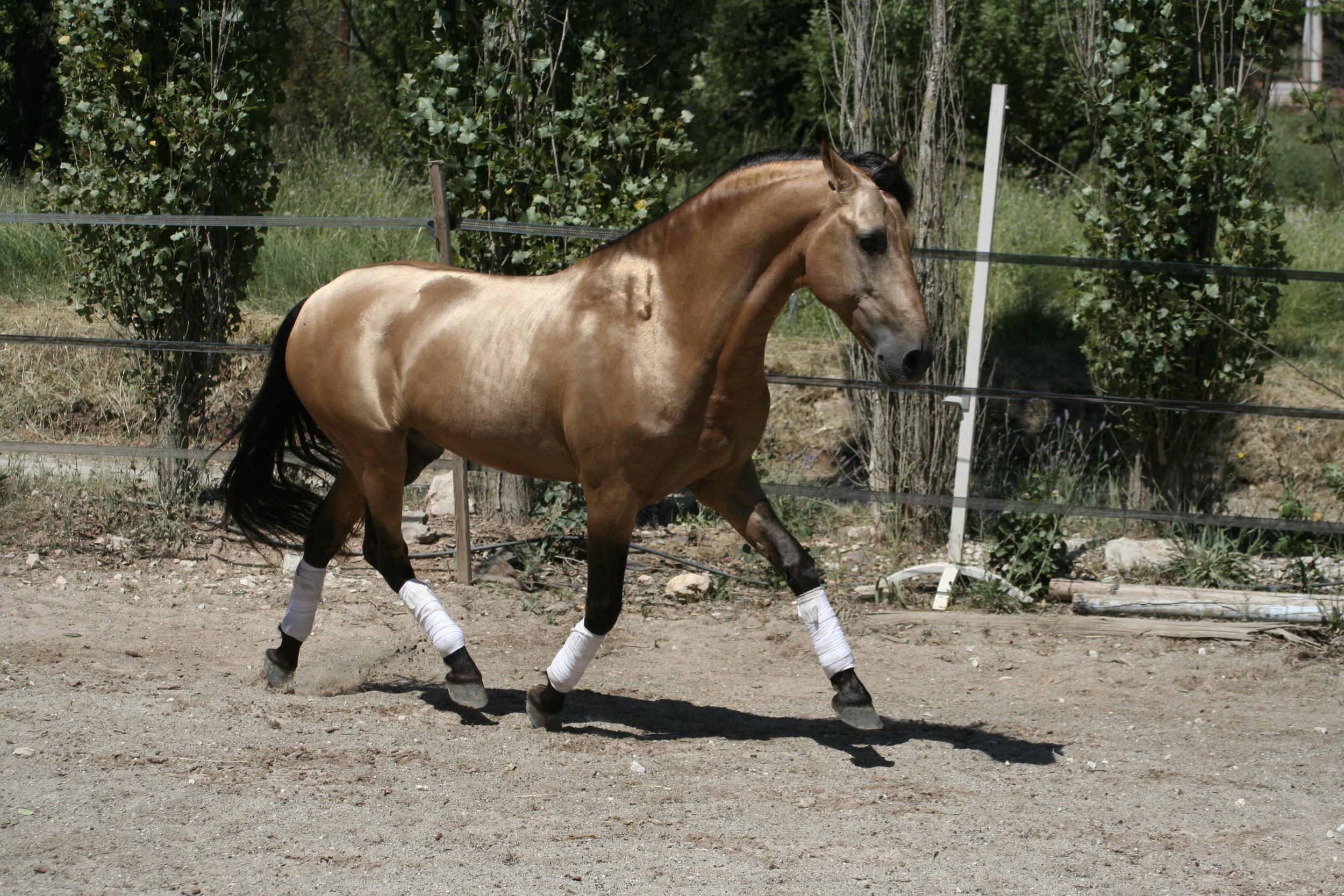 """Efecto A: - Pure Race Espagnole PP.Sa robe est exceptionnelle avec son isabelle or-cuivré métallisé.152 cm. 8 ans.Baroque, beaucoup de crins.Vient de l'élevage Antares, Fils du celèbre étalon """"Claudio vives"""". avec la génétique Ee AA Cr Cr .Efecto A, est un cheval facile à vivre, connait le box, et respecte les clôtures.Un cheval très agréable dans ses allures cadencées. Facile à monter.Très bonne basse école, connait la levade et le pas espagnole.Sors en extérieur,calmement."""