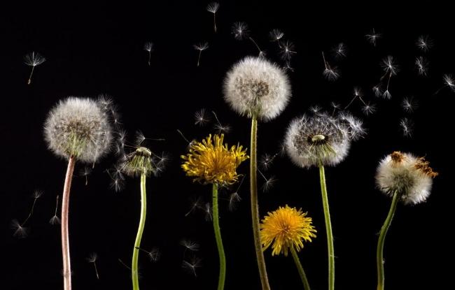 Dandelions-pollen-allergies.jpg