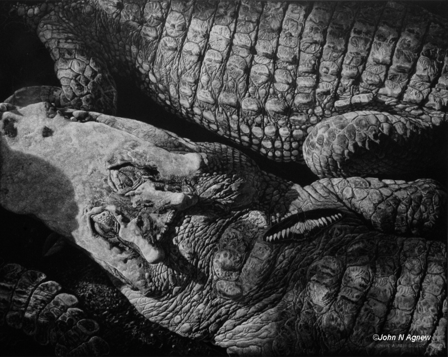 JOHN H. AGNEW, CROCODILE DREAMS  SCRATCHBOARD, 11 IN. X 14 IN.