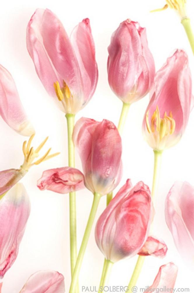 The Hilton Brothers - Makos/Solberg Red Tulip 2008 (Left)  Digital Pigment Print 54x36 in.